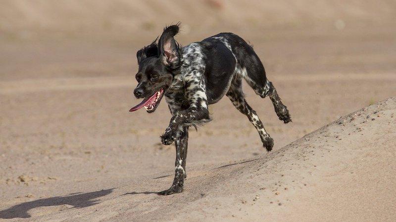 Blije hond tijdens het rennen
